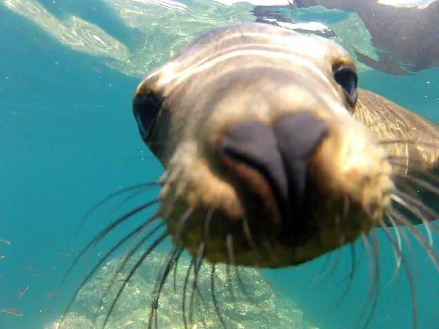 GoPro: Galápagos Sea Lions